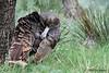 Rio Grande Turkey, So Llano, 10/28/2009.