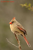 Female Cardinal, S Llano River SP, Junction, Tx. 2/8/2007