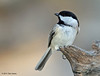 Carolina Chickadee, Acorn blind, Feb 13, 2013.