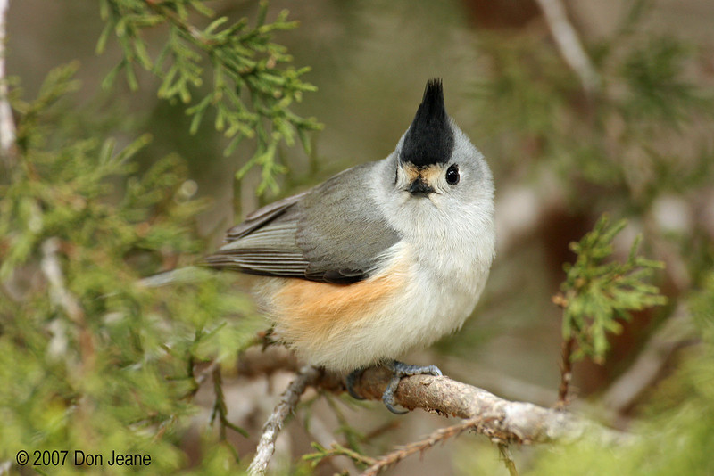 Black-crested Titmouse, 02/08/2007.