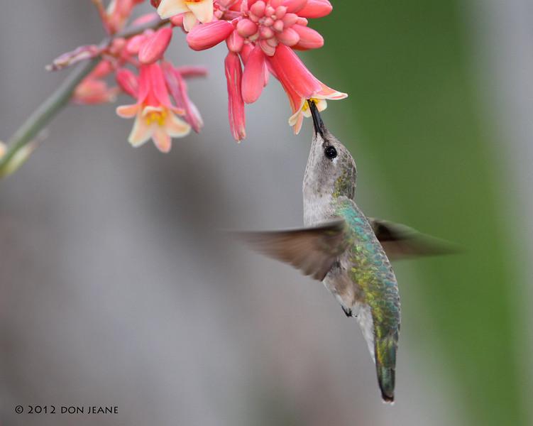 Female Black-chinned Hummingbird,  Acorn blind, 05/03/2012.