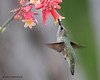 Female Black-chinned Hummingbird,  Acorn blind, 05/03/2012.