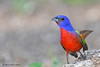 Male Painted Bunting, Lora's Blind, 05/02/2012.