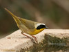 Common Yellowthroat (Warbler). 5/6/2008.