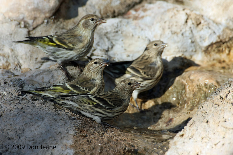 Pine Siskins (they seem to enjoy communal bathing), Agarita blind, 10/23/2009.