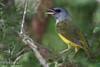 Mourning Warbler, Agarita Blind, 5/6/2010.