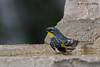 Yellow-rumped (Audubon's) Warbler,  Lora's blind, 05/01/2012.
