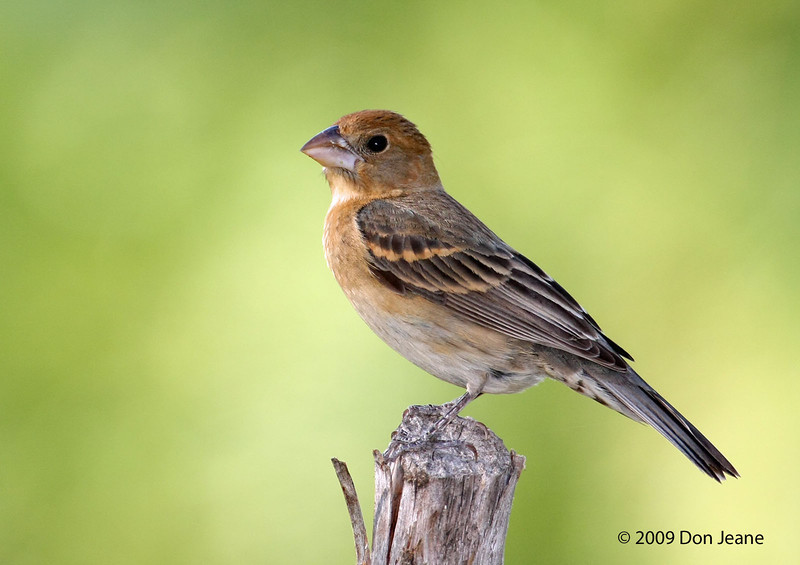 Female Blue Grosbeak, 5/28/2009. Acorn Blind.
