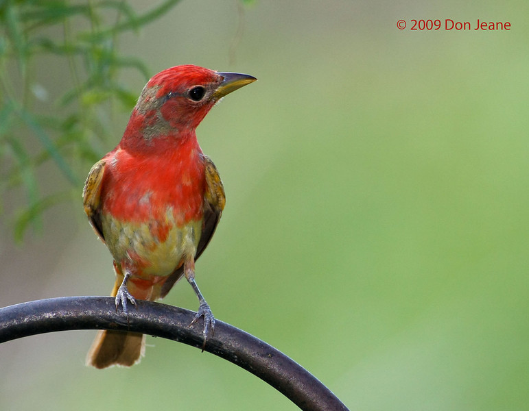 Immature Summer Tanager, 6/2/2009. Juniper blind.