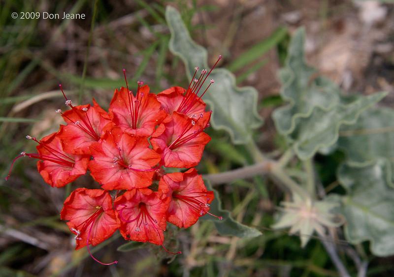 Scarlet Musk-Flower, 5/30/2009.