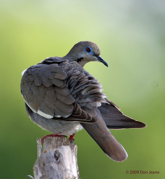 White-winged Dove, 6/3/2009. Acorn blind