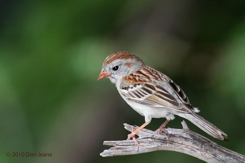 Field Sparrow, Agarita Blind, 5/6/2010.