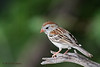 Field Sparrow, Agarita Blind, 5/6/2010.