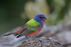 Male Painted Bunting, Acorn Blind, 5/5/2010.