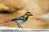 Golden-cheeked Warbler, Lora's Blind, 04/29/2015.