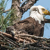 Eaglet napping