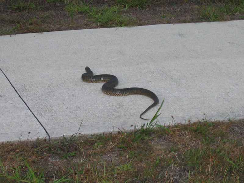 Got out my tripod and helped this snake cross the main FGCU entrance