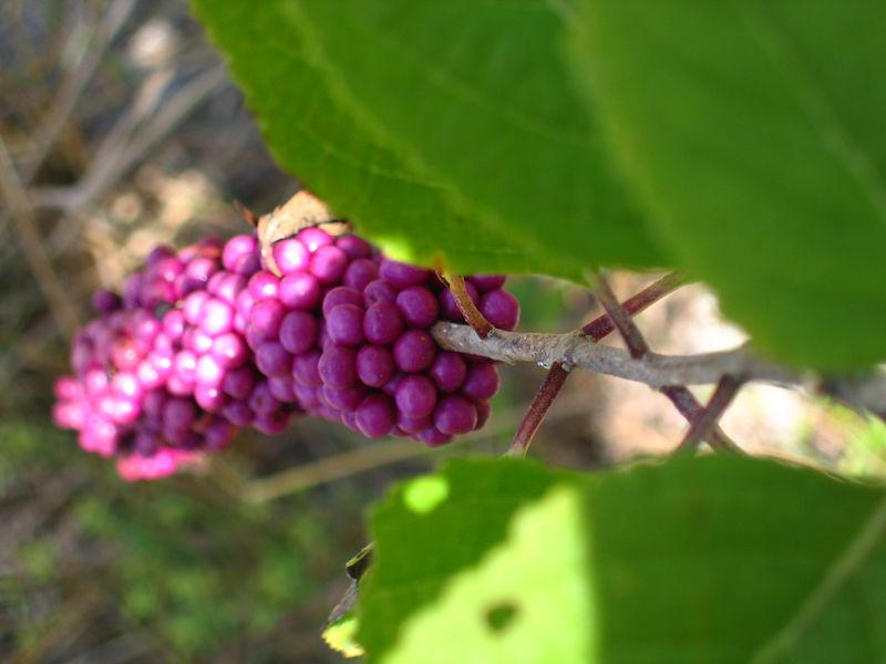 ?milky purple berries?