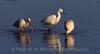 White Ibis and Snow Egret.