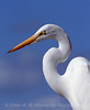 Blue sky and a Great Egret.