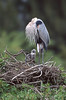 The Chick. Great Blue Heron .