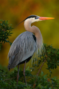 Great Blue Heron with Breeding Plumage