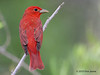 Male Summer Tanager, Sabine Woods, 4/20/2010.