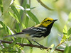 Another nice Black-throated Green Warbler, The Willows, 04/19/08.