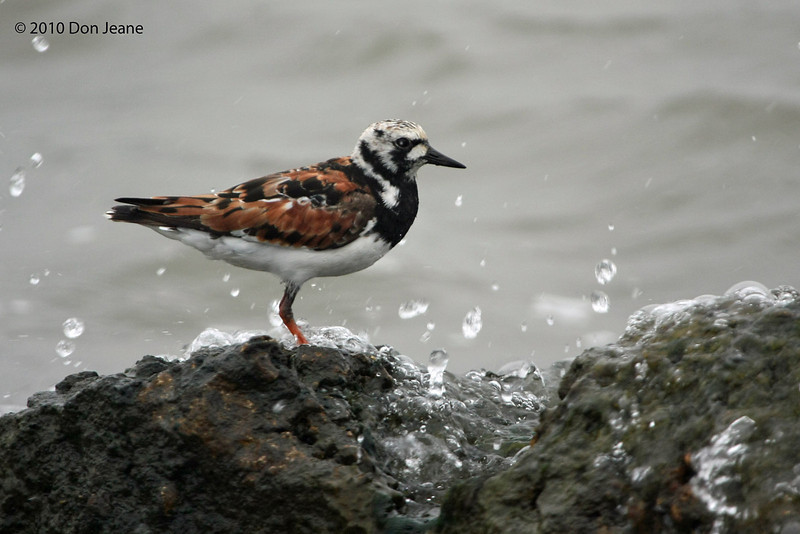 Ruddy Turnstone, Pilot Road, 4/23/2010.