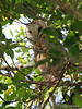 Barn Owl, Sabine Woods, April, 2005.