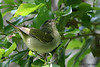 Tennessee Warbler, Sabine Woods. April 2007.