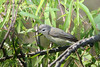 Warbling Vireo, Sabine Woods. My vote for plainest bird. April 11, 2007.