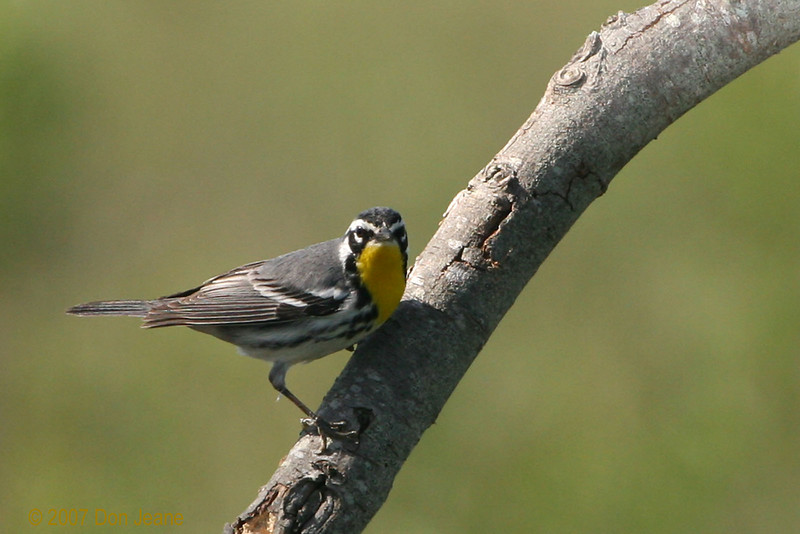 Yellow-throated Warbler, Sabine Woods. April 11, 2007.