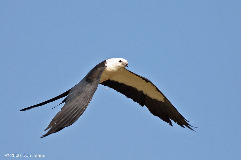 Swallow-tailed Kite, Liberty County, Aug 2006.
