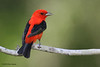Male Scarlet Tanager, Sabine Woods, 4/21/2010.