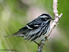 Black and White Warbler, The Willows, 04/19/08.