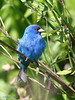 Indigo Bunting, Sabine Woods. May, 2005.