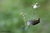 Tennessee Warbler, Sabine Woods, 4/19/2010.