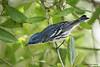 Male Cerulean Warbler, Sabine Woods, 4/22/2010.