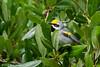 Golden-Winged Warbler. Sabine Woods, 4/20/2018.