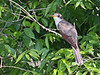 Yellow-billed Cuckoo, Sabine Woods, 4/20/2010.