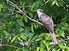 Yellow-billed Cuckoo, Sabine Woods, 4/20/2010.