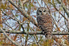 Barred Owl, Magnolia Ridge, B A Steinhagen Lake, Nov, 2007.