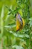Blue-Winged Warbler. Sabine Woods, 4/20/2018.