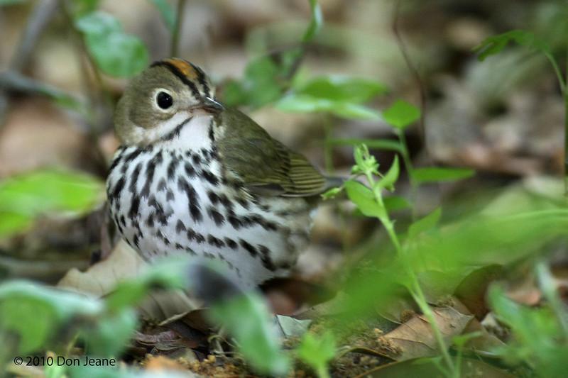 Ovenbird, Sabine Woods, 4/21/2010.
