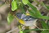 Female Northern Parula, Sabine Woods, 4/20/2010.