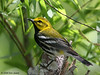 Black-throated Green Warbler, The Willows (Sea Rim State Park), 04/19/08.