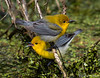 Very cooperative pair of Prothonotary Warblers. Sabine Woods, 4/20/2018.