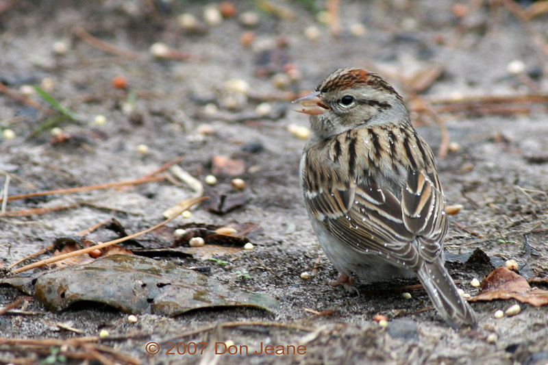 Chipping Sparrow, Hardin County, Jan, 2007.