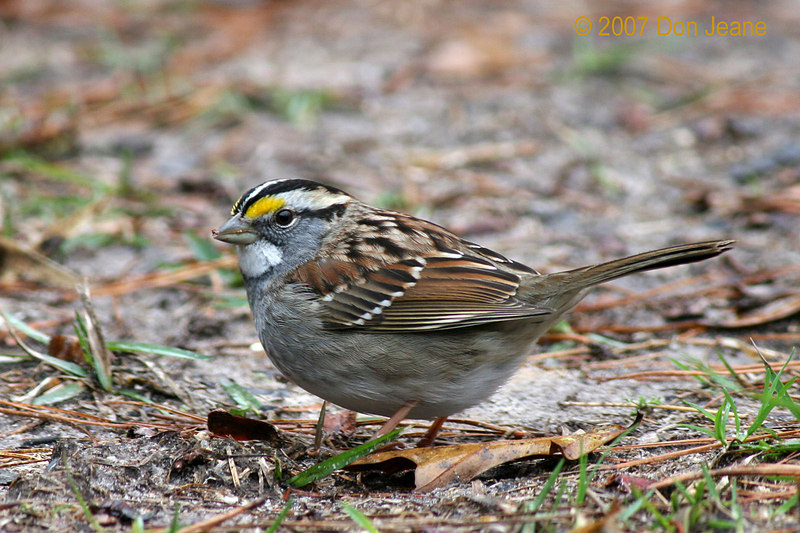 White-throated Sparrow, Hardin County, Jan, 2007.